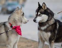 Två Syberian Husky Dogs Looks till varandra Hundförälskelsebegrepp Arkivfoto