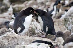 Två sydliga Rockhopper pingvin i koloni royaltyfri bild