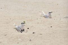 Två tärnor som sitter på deras ägg i sanden Arkivfoton