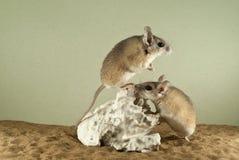 Två taggiga mouses Arkivfoto