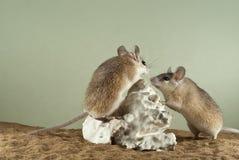 Två taggiga mouses Arkivfoton