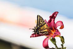 Två-tailed Swallowtail (den Papilio multicaudataen) i lilja i ett hem arkivbild