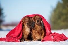 Två taxhundkapplöpning som utomhus poserar i vinter arkivbild