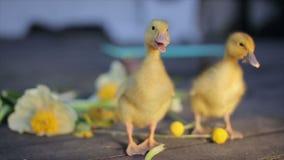 Två teeny gula duckligs som går i blommor stock video