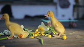 Två teeny gula duckligs som går i blommor lager videofilmer