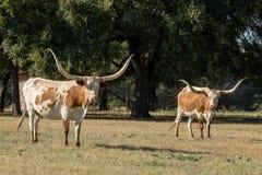 Två Texas Longhorns Arkivbilder