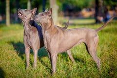 Två thailändska Ridgeback hundkapplöpning Royaltyfria Bilder