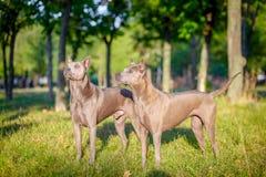 Två thailändska Ridgeback hundkapplöpning Arkivbilder