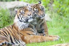 Två tigrar tillsammans Arkivfoto
