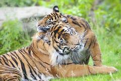 Två tigrar tillsammans Royaltyfri Foto