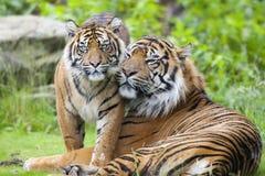 Två tigrar tillsammans Royaltyfri Fotografi