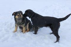 Två tillfälliga hundkapplöpning som sitter i snön arkivbild