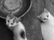 Två tillfälliga kattungar Arkivfoto