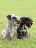 Två tjeckiska Terriers Arkivfoton