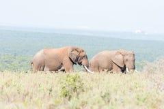 Två tjurar för afrikansk elefant royaltyfri bild