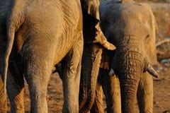 Två tjurar för afrikansk elefant, etoshanationalpark, Namibia royaltyfria bilder