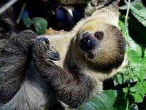 Två-toed sengångare Arkivbilder