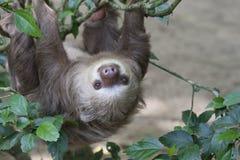 Två toed sloth som hänger i tree Arkivfoto