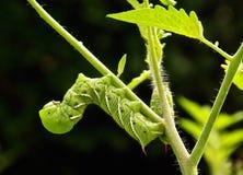 Två tomat/tobak Hornworms Fotografering för Bildbyråer