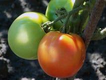 Två tomater arkivbild