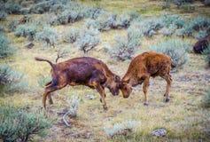 Två tonårs- kalvbrunst i fältet av den Yellowstone nationalparken, Wyoming arkivfoton