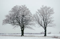 Två träd i snö royaltyfri fotografi