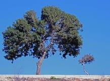 Två träd på en solig molnfri dag blå sky Arkivfoto