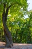 Två träd som flätas samman som folk i dansen Arkivbild