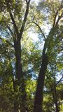 Två träd tillsammans nära Mississippi River i Fridley Mn Arkivfoton