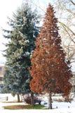 Två trän i vintern Fotografering för Bildbyråer