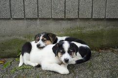 Två tröttade valpar vilar, når de har spelat Royaltyfri Fotografi