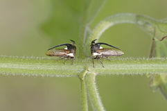 Treehopper Royaltyfri Bild