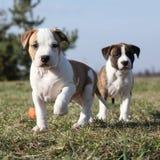 Två trevliga valpar av amerikanska Staffordshire Terrier Royaltyfria Foton