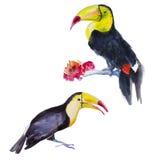 Två tukan (den Ramphastos tocoen) för flygillustration för näbb dekorativ bild dess paper stycksvalavattenfärg Royaltyfri Bild