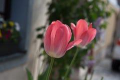 Två tulpan i Österrike royaltyfria bilder