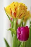 Tulpan Royaltyfria Bilder