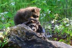 Två tvättbjörnar i en ihålig journal Royaltyfria Bilder