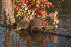 Två tvättbjörnar (Procyonlotor) huka sig ned på journal Arkivbild