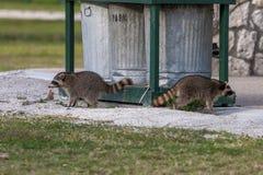 Två tvättbjörnar vid soptunnor i ett län parkerar i Florida Arkivbild