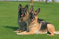 Två tyska herdar Arkivbild