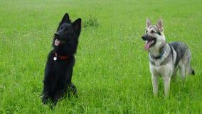 Två tyska herdar i ett engelskt fält Royaltyfria Bilder
