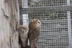 Två ugglor som sitter bredvid de i aviarium i zoo Royaltyfri Bild