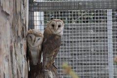 Två ugglor som sitter bredvid de lookinf in i kamera i aviarium Arkivbild