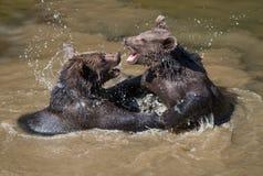 Två unga brunbjörnar som spelar i vattnet royaltyfri fotografi