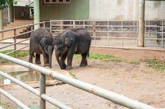 Två unga elefanter royaltyfria foton