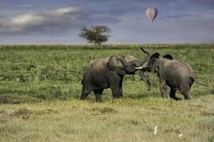 Två unga elefanter som spelar i fältet royaltyfri foto