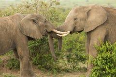 Två unga elefanter som spelar i Kenya arkivbild