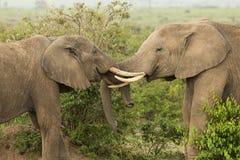 Två unga elefanter som spelar i Kenya arkivbilder