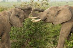Två unga elefanter som spelar i Kenya royaltyfri bild