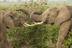 Två unga elefanter som spelar i Kenya royaltyfri foto